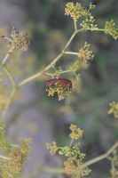 Graphosoma lineatum sucking seeds of parsley by A1Z2E3R