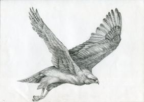 Hen harrier by FeatheredDiva