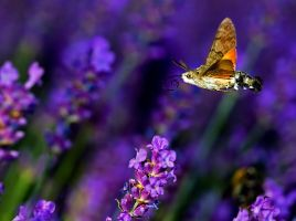 hummingbird hawk-moth by swissloko