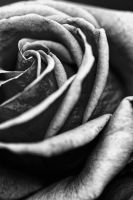 Rose BW by BuchananImagery