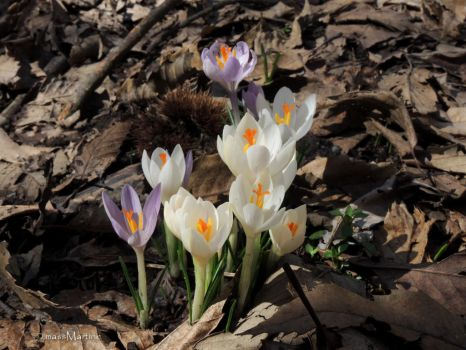 Family of Crocuses by massMartine