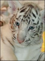 White Tiger Cub by mydigitalmind