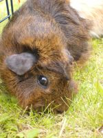 guinea pigs 1 by MLS-photography