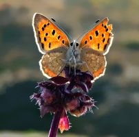 butterfly__________ by lisans