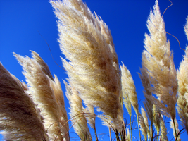 Pampas grass by PhotographyFace