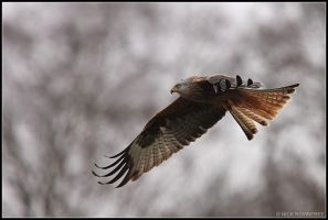 Gigrin Farm - Red Kite III by nitsch