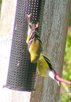 Gymnastics for Goldfinches by JocelyneR