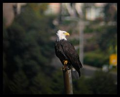 American Bald Eagle by swashbuckler