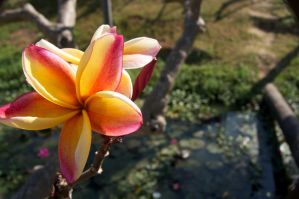 Peach Orchid by herezjonny2000