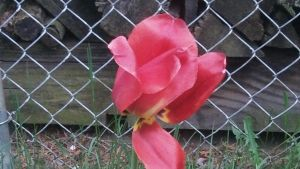Flower by the fence by lollimewirepirate