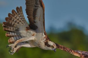 Osprey - Focused by JestePhotography