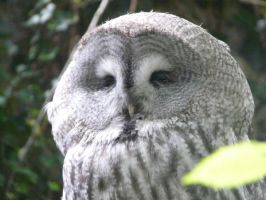 Great Gray Owl by GrumpyBearChemo