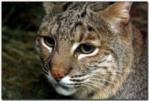 Bobcat up Close  II by LoneWolfPhotography