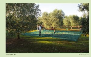 Olive Harvesting in Puglia by DianaKennedy