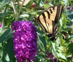 butterfly3 by rpete38
