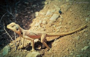 Toad-headed Desert lizard by adiota
