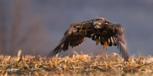 Imm eagle  Lift Off.. by DGAnder