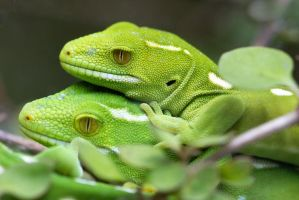 Wellington Green Gecko by carterr