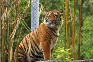 Malayan Tiger 55 by HarbingerPhotography