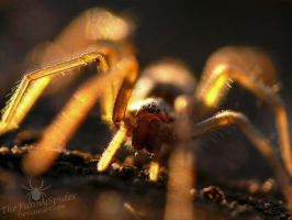 Golden Spider - Tegenaria by TheFunnySpider