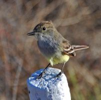 Galapagos Flycatcher by Delathiel