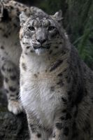 Snow Leopard Portrait 1223 by robbobert