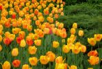 Tulips 6 by zaphotonista
