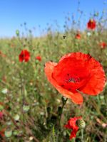 Summer poppies. by niksi13