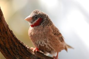 Cut-Throat Finch by TheWritingDragon