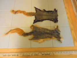 Fox Squirrel Pelts (For Sale) by Saceronsage