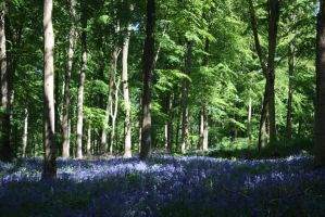 Bluebell Wood 1 by Topaz172