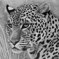Furtive Glance, pencil by Panthera11