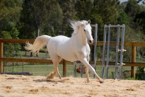 Arab canter forelimb extended by Chunga-Stock