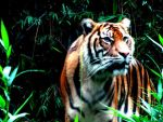 Siberian Tiger by lozzrd