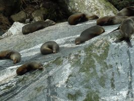 seals on a rock by Mysteriouspizza
