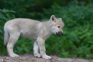 Hudson-Bay Wolf Puppy by Tribolonotus