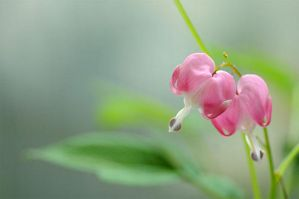 Dicentra - II by AlexEdg