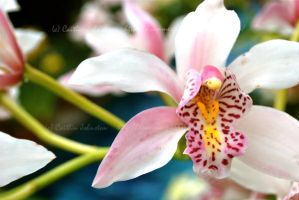 Orchid Up Close by DrummerGirl375