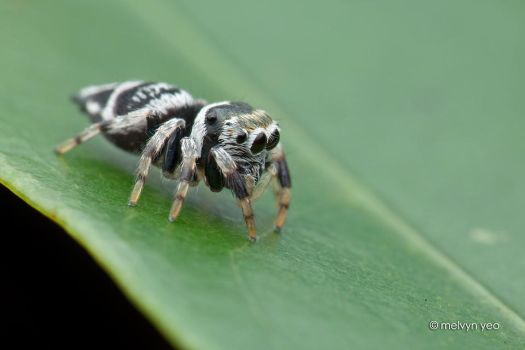 Ptocacius sp. by melvynyeo