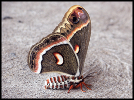 Cecropia Moth by starrycaT