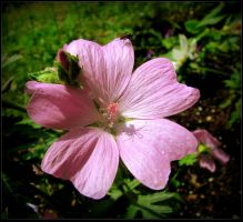 Beautiful Malva in Spring. by JocelyneR
