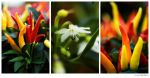 Peppers Framed Triptych by butterfly36rs