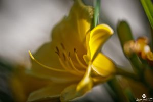 Blurry Lily by mjohanson