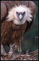 Griffon Vulture 31-019 by Prince-Photography