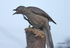 Large Grey Babbler by himphotography