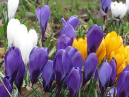 Crocuses of Springtime by ZeldAlice