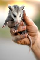 Baby Possum by SexyAleksey