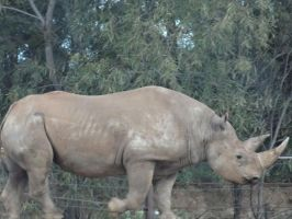 Monarto 2014: Black Rhino by lizardman22