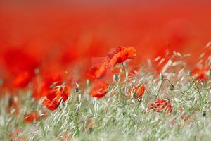 Poppies in the field by fotoartcroatia