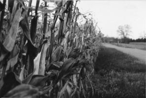 Ear of Corn by L2TheRizzle